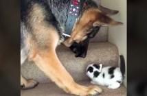 階段を登る子猫を助けるシェパード