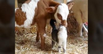 仲良しな牛と猫