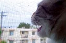 ニワトリのように鳴く猫