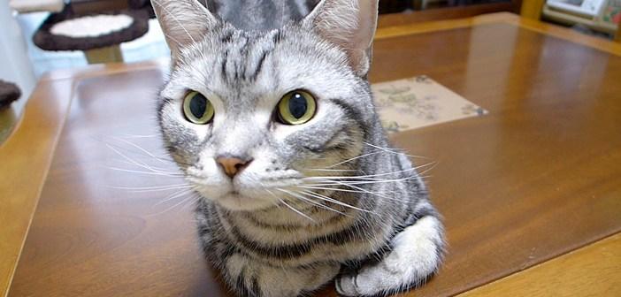 オヤツ待ちの猫
