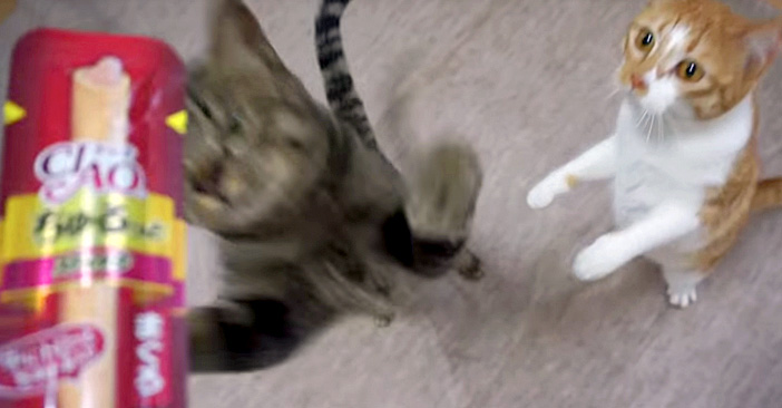 チュール好きの猫