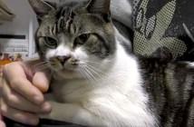 野太い声で鳴く猫