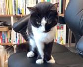 「おひざに乗りたい」とやって来た猫さん。なぜか膝の上に乗らなかったので、イスを譲ってみると… ( *´艸`)♡