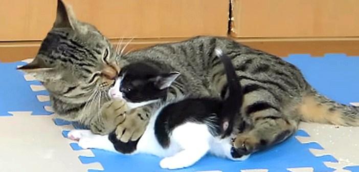 """孫猫が可愛過ぎてしょうがない! おばあちゃん猫の """"愛情表現"""" が凄かった (*゚0゚)!"""