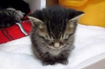 眠たい子猫