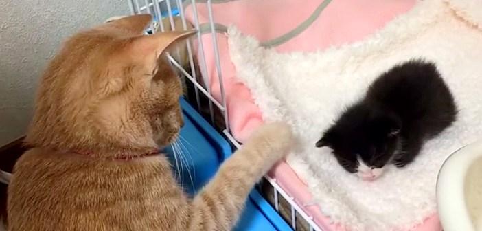 家に来たばかりの子猫を優しく見守る先住猫。お昼寝中の子猫に触りたいけど、なかなか触れないようで ( *´艸`)♡