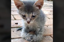 曲がった前足の子猫