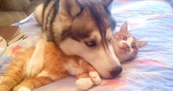 猫を枕にするハスキー犬