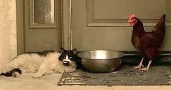 仲良しな猫とニワトリ