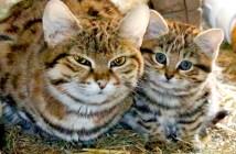 クロアシ猫