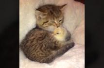 ひよこを毛づくろいする子猫