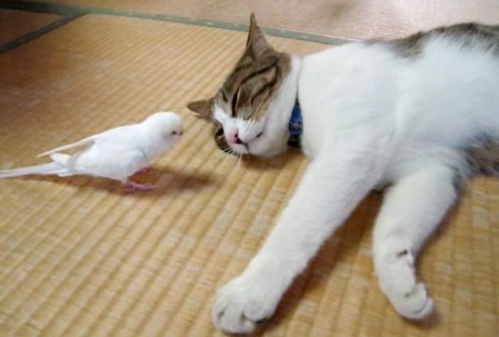 猫に近づいてくるインコ