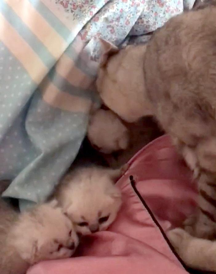 子猫を布団に入れる母猫