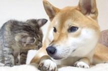 見つめる柴犬と子猫