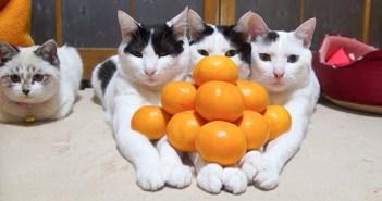 みかんを乗せる猫