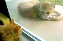 オオヤマネコと猫