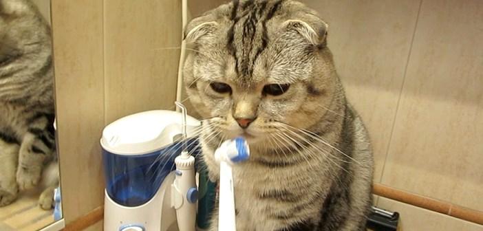 歯ブラシ好きの猫さんが、自ら飼い主さんに歯磨きを要求。電動歯ブラシを近づけると、可愛い反応が返ってきた (*´ω`*)♪