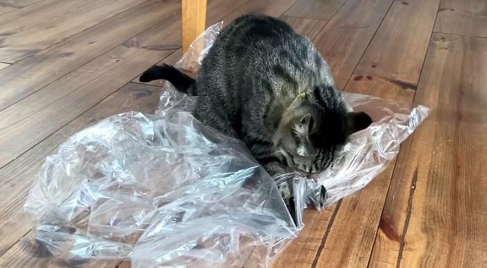 ビニール袋に興味津々の猫