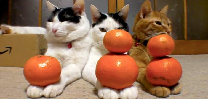 みかんダルマを完成させる猫