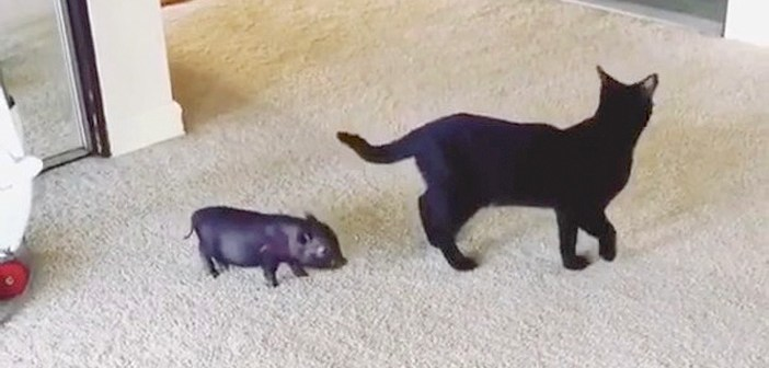 猫と子ブタ