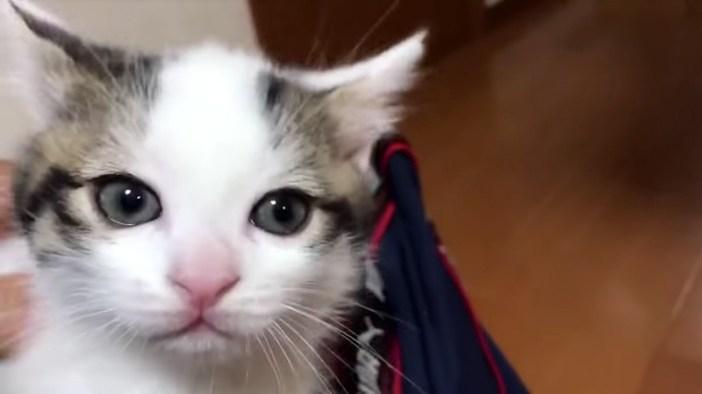 膝に乗る子猫