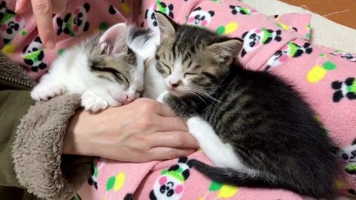 膝の上で寝る子猫
