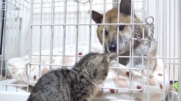 子猫を見つめる柴犬