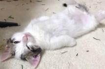 ウトウト子猫