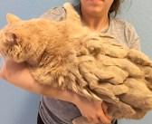 全身が毛の束に覆われていた13歳の老猫。大量の毛から解放されたのが嬉しくて、幸せいっぱいの日々を過ごし始める