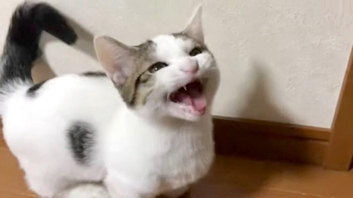 会話する子猫