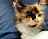 新しい生活に安心した保護子猫が初めて膝の上で寝てくれた♪ 幸せそうに撫でられながら眠りに落ちていく姿が可愛すぎる♡