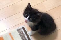 ニワトリのように鳴く子猫