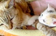 ポムポムする子猫
