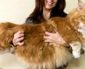 誰もが驚くほどの巨大な猫さん。その大きな身体で、迎えてくれた家族にたくさんの笑顔と幸せを届け続ける (*´ω`*)♪