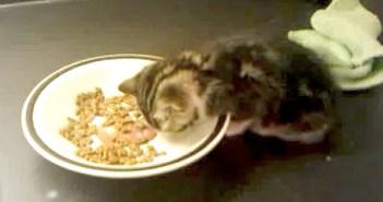 ご飯中に眠った子猫