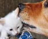 今までに100匹以上の保護子猫を育ててきた優しい犬のお父さん。たくさんの愛情で幼い子猫達を素敵な猫へと成長させる♪