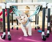 生まれつき歩くことができなかった子猫の3姉妹。手作り歩行器で歩けたことが嬉しくて、幸せいっぱいの姿を見せてくれた