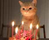 誕生日ケーキでお祝いしてもらった猫さん。一番のプレゼントは、家族や仲間達と一緒に過ごす温かい時間でした (*´ω`*)♡