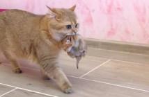 子猫と引っ越しする母猫