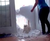 「今帰ったにゃー!」と雪の壁を突き破って帰宅する猫さんに、飼い主さんも思わずビックリ (゚Д゚;)!