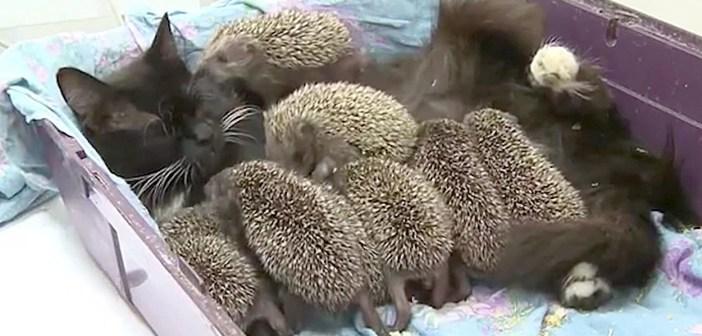 ハリネズミの赤ちゃんと猫
