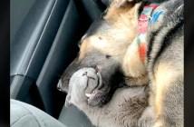 昼寝をする犬と子猫