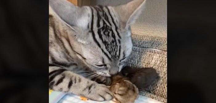うずらのヒナと猫