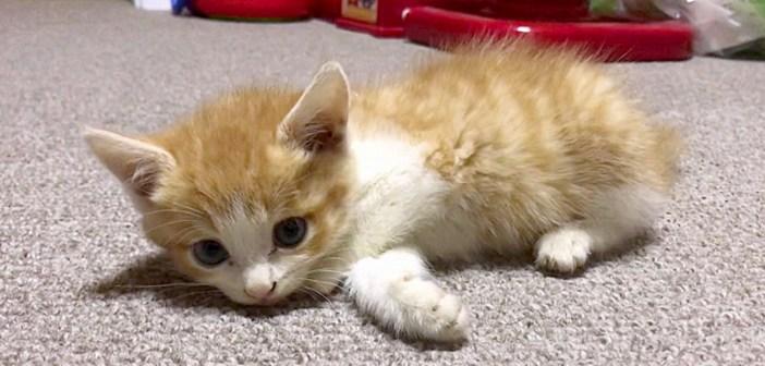 首から下が麻痺した状態で保護された子猫。それから7ヶ月後に見せてくれた、元気いっぱいに歩き回る姿に胸が熱くなる