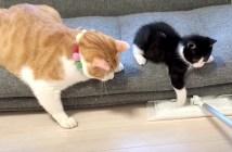 掃除に興味津々の猫