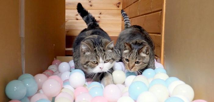 ボールロードに挑む猫