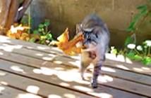 落ち葉を持ってくる猫