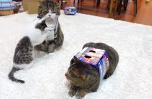 先住猫に絡む子猫