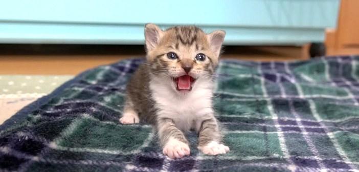 シャーする子猫