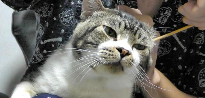 耳掃除する猫
